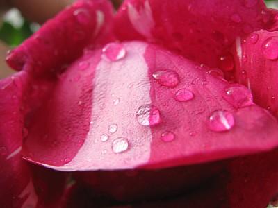 imágenes gratis Pétalo de rosa roja con gotas de agua