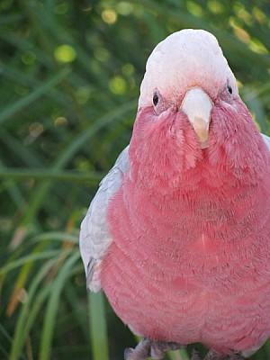 imágenes gratis prod06,ave,aves,pajaro,pajaros,cotorra,cacatua,lor