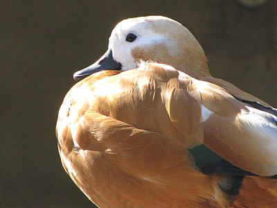 prod06,animal,animales,pato,ave,aves,primer plano,