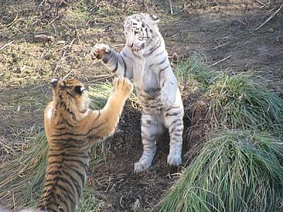 prod06,animal,animales,salvaje,salvajes,tigre,tigr
