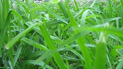 prod06,pasto,cesped,verde,primer plano,vista de fr