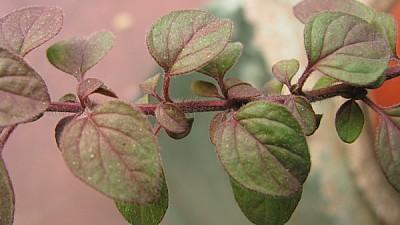 prod06,naturaleza,vista de frente,hoja,hojas,rosa,