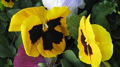 imágenes gratis prod06,flor,flores,naturaleza,vista de frente,prim