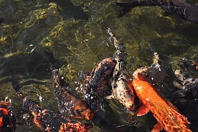 imagenes gratis ,pez,pesces,pescado,estanque,laguna,lago,agua,tran