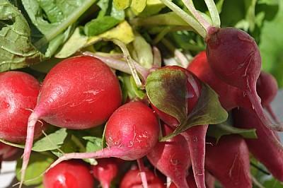 imágenes gratis saludable, rabanos, fresco, comestible, hojas, Hor