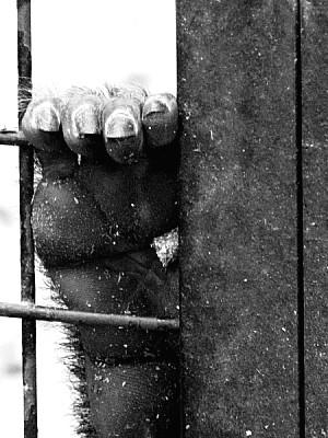 imágenes gratis mano, uñas, encerrado, mono, animal, cautiverio, f