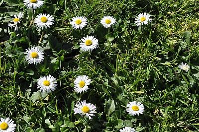 imágenes gratis margaritas, flores, verde, naturaleza, romantico,