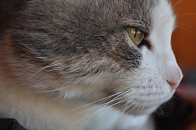 gato, animal, felino, quieto, adormecido, de cerca