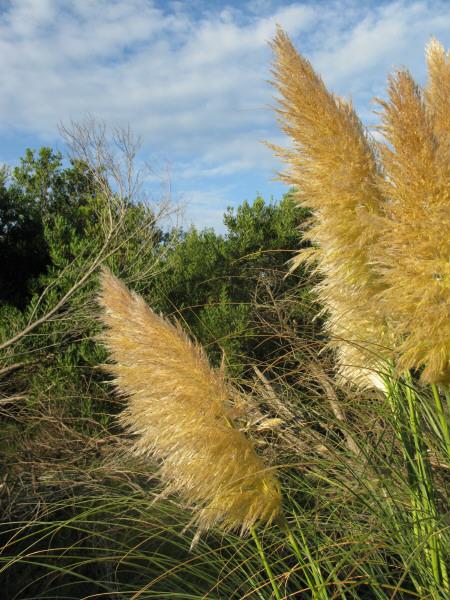 planta,plantas,verano,primavera,plumerillo,vista de frente,fondo,background,plumero,naturaleza,escena rural,arbusto,flor,florecido,