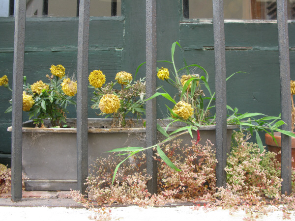 colonia,uruguay,sudamerica,america del sur,america,,ventana,reja,rejas,proteccion,seguridad,flor,flores,seca,secas,seco,marchito,marchitas