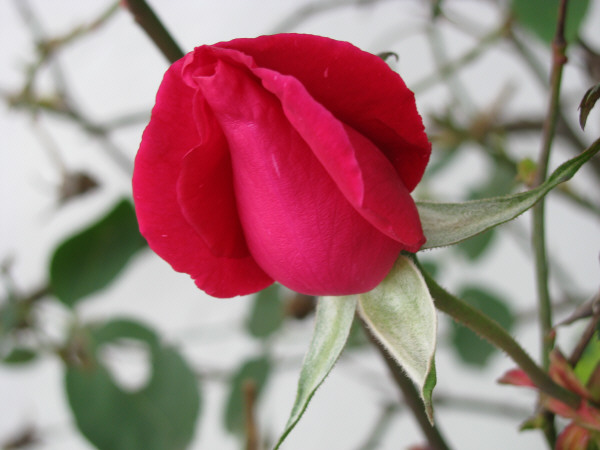 flor,flores,naturaleza,vista de frente,color,rosa,roja,primer plano,