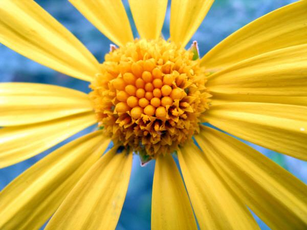 flor,flores,naturaleza,margarita,vista de frente,petalo,petalos,amarillo,amarilla,primer plano,prod01,