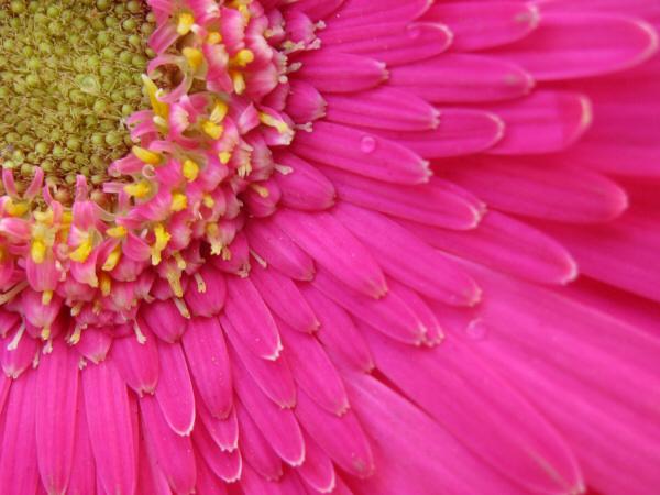 flor,naturaleza,primavera,color,colores,colorido,verano,tres cuartos,centro,petalo,petalos,violeta,fuccia,polen,vista de frente,primer plano,fondo,background,,prod05