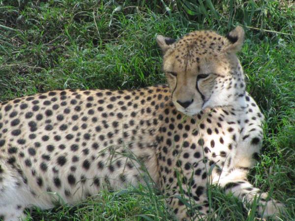 animal,chita,felino,salvaje,primer plano,cabeza,tranquilo,naturaleza,fauna,primer plano,dia,exterior,,prod05