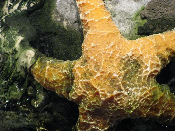 estrella de mar,estrella,molusco,primer plano,animal,animales,fauna,marina,forma,textura,,prod05