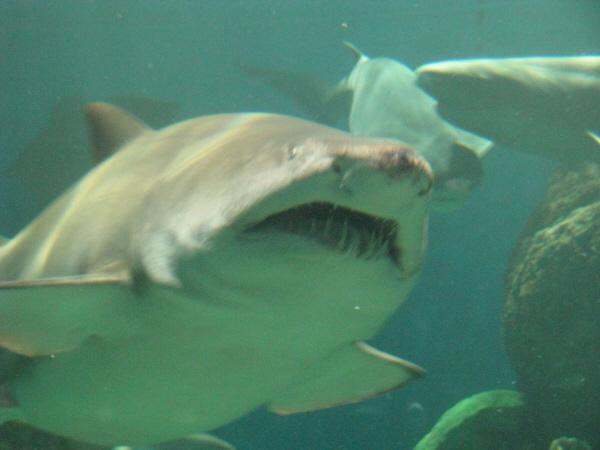 animal,pez,tiburon,peligro,acuario,fuera de foco,primer plano,depredador,vista de frente,fauna marina,,prod05