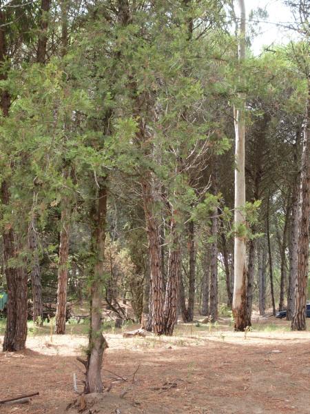 bosque,bosques,pino,pinos,vista de frente,arbol,arboles,naturaleza,nadie,dia,aire libre,exterior,,prod05