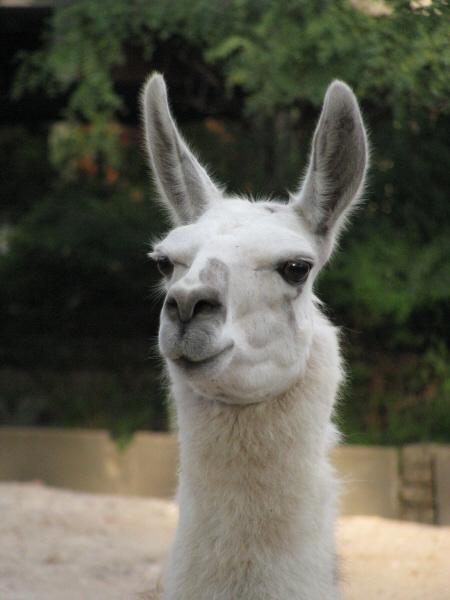 imagen de animal llama salvaje andino vista de frente exteri