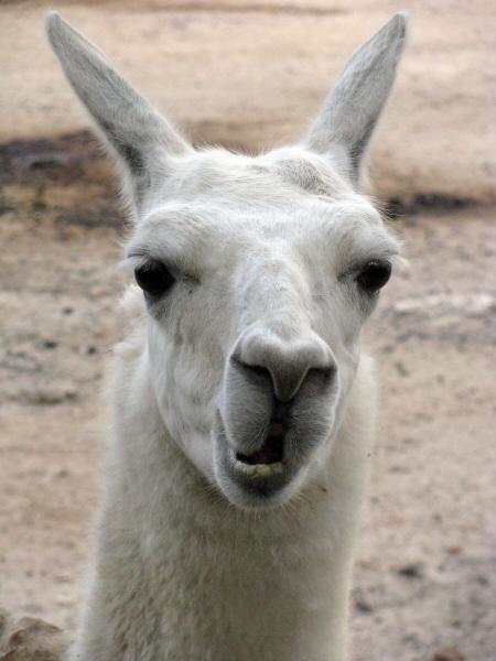imagen de animal llama salvaje andino vista de frente