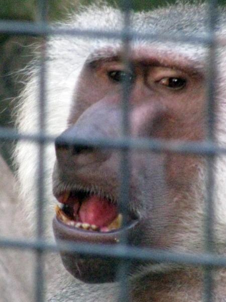 animal,animales,primer plano,vista de frente,mono,monos,cautiverio,jaula,preso,enjaulado,reja,proteccion,aislado,aislar,aislamiento,mandril,cara,rostro,tristeza,melancolia,triste,nostalgia,extrañar,extrañanado,,prod05