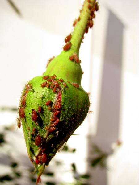 Imagen de naturaleza planta plantas insecto insectos nadie - Plantas para ahuyentar insectos ...
