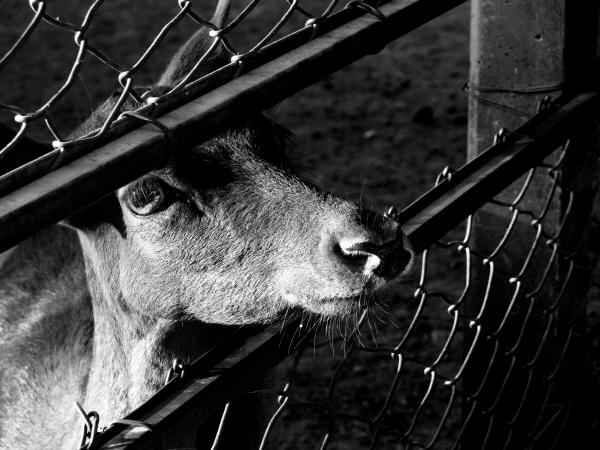 blanco y negro,animal,animales,granja,granjas,vista de frente,cabeza,triste,tristeza,melancolia,nadie,vista de frente,primer plano,mirada,cabra,escena rural,paisaje,,prod05