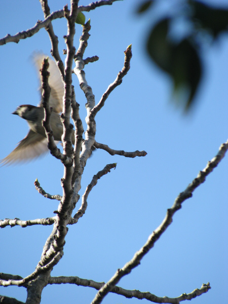 ave,aves,pajaro,pajaros,gorrion,rama,ramas,volando,volar,vuelo,libertad,cielo azul,concepto,conceptos,naturaleza,,prod05