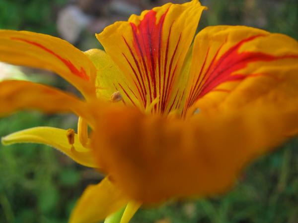 flor,flores,primer plano,flora,planta,petalo,petalos,primavera,color,colorido,amarillo,vista de frente,naturaleza,nadie,textura,texturas,fondo,background,jardin,,prod05