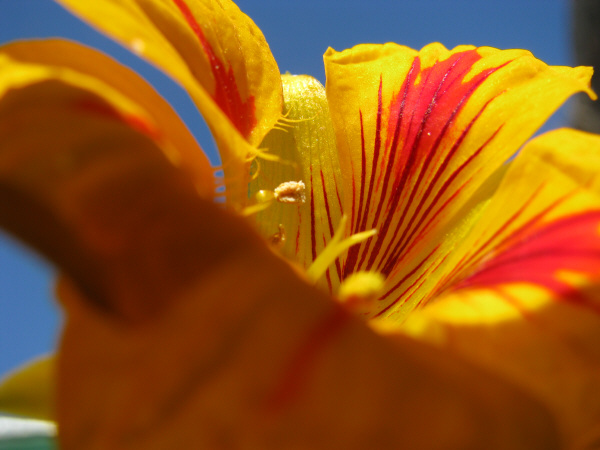 flor,flores,primer plano,flora,planta,petalo,petalos,primavera,color,colorido,amarillo,vista de frente,naturaleza,nadie,textura,texturas,fondo,background,jardin,cielo azul,,prod05