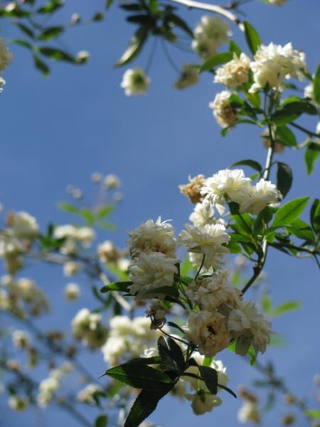 prod06,flor,flores,naturaleza,blanco,blanca,primer plano,vista de frente,planta,america,america del sur,color,colores,colorido,primavera,florecer,florecido,vista de abajo,cielo azul,paisaje,