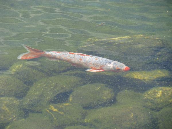 Imagen de prod06 aire libre exterior rio agua pez peces for Carpa de rio