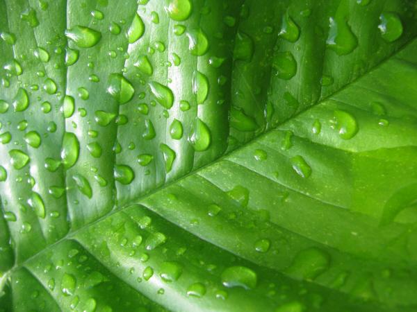 prod06,hoja,hojas,verde,naturaleza,agua,gota,gotas,primer plano,vista de frente,fondo,background,textura,texturas,mojado,humedo,
