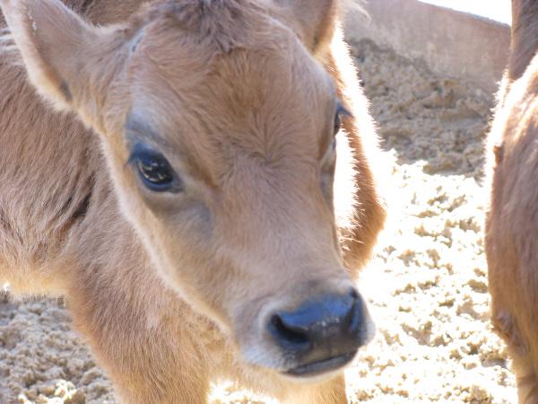 prod06,animal,animales,vaca,ternero,ternera,joven,cachorro,cahorros,ganaderia,industria,cabeza,vista de frente,marron,color,colores,hereford,