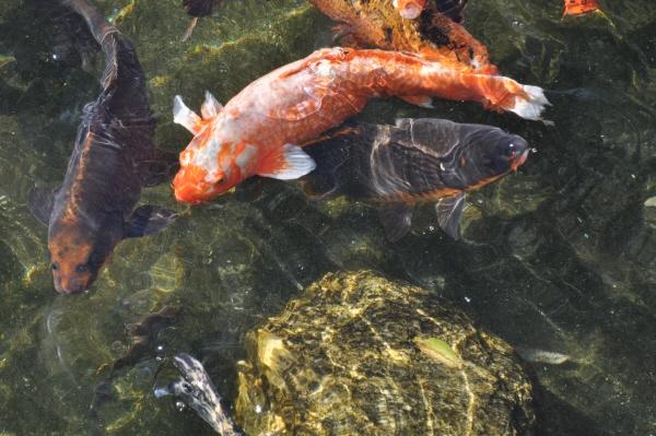 Imagen de pez pesces pescado estanque laguna lago agua for Criadero de carpas
