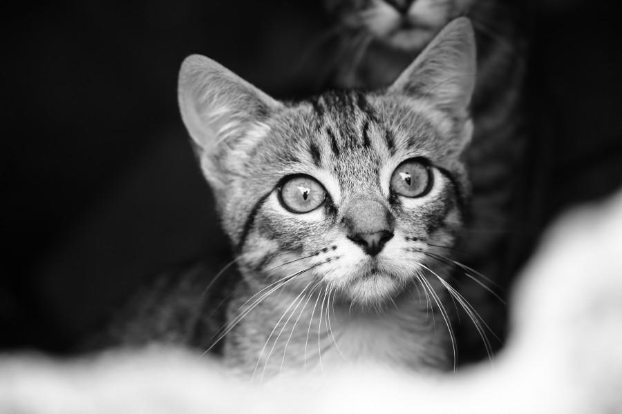 Imagen de gatito en blanco y negro para fondo de pantalla for Fondo de pantalla blanco y negro